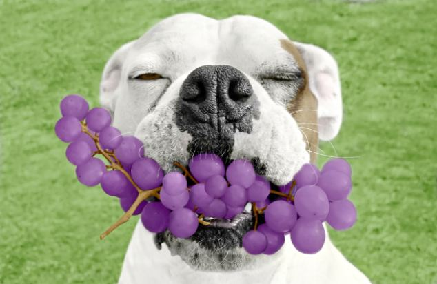 Dog Holding Mouthful of Grapes -- Image by © Cynthia Pringle/Corbis